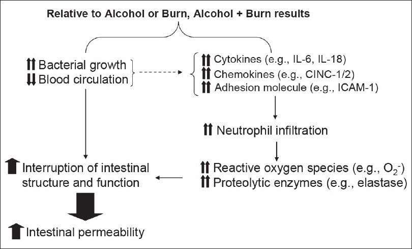 Figure 2 :Diagrammatic representation of the events leading to increased intestine permeability following a combined insult of alcohol and burn injury